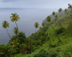 Special grow palm trees on the hillside. How would resist gravity rises in their hollow trunks as the springs.