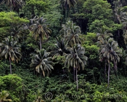 Palm trees on their slender legs waving as high lighthouses, over jungle.