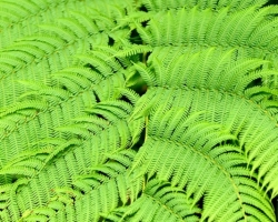 Green ferns in the jungle is unmistakable ...