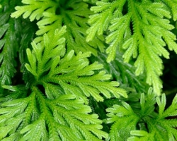 Vraneček /Selaginella/ z oddelenia plavúňovitých tvoril v podraste dźungle zelené koberce.