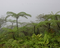 Tak ako schádzame dolu zo sopky ožíva všetko okolo. Atlantická strana ostrova Saint Vincent je extrémne vlhká a stále pribúdajú obrovské stromovité paprade rodu Cyathea. Cítiš závan praveku........