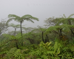 So how go down from the volcano nature comes to life all around. Atlantic side of the island of Saint Vincent is extremely humid and still gain huge tree ferns od Cyatheagenus. You feel a breath of prehistory ........