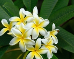 Drevina z rodu Plumeria čeľade Apocynaceae. Kvety rozvoniavajú na široko - ďaleko.