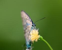 Som veľmi rád, že sa mi podarilo zachytiť tohto nádherného motýľa ktorý je známy len z ostrova Saint Vincent.