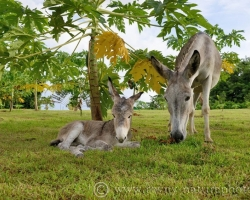 Donkey named Laska was born in young offspring in the papaya grove. It was incredibly big and as already lives with cubs wonderful.