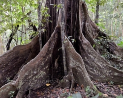 In the original tropical rainforest of the Saint Vincent island grow these giant Santinay trees. Buttressed and protect them in shallow soils before hurricanes huge roots.
