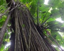 Z horných poschodí dźungle trčia spomedzi vzdušné korene listy aby si uchytili aspoň trošíčku zo slnečných lúčov.