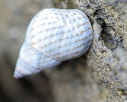 The stone boulders were part of the coast occupied by the small gastropods.