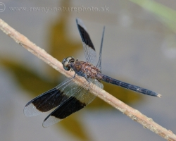 Dragonfly from Saint Vincent island.