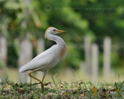 The Cattle Egret (Bubulcus ibis) is a cosmopolitan species of heron (family Ardeidae) found in the tropics, subtropics and warm temperate zones