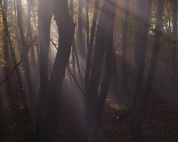The sun is hardly go through the dense fog to highlighted color beech forest