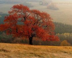 V rannom brieždení svietia ohnivé listy tejto čerešne ako žiarivý plameň.