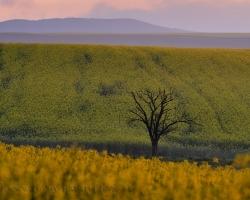 Jarné polia sú veselé, plné radosti a farieb. Na obrázku tú veselosť vyvažuje smutný suchý strom.