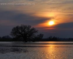 Divé husy hľadajú na šírich zaliatych pláňach inundácie rieky Moravy svoj nočný odpočinok