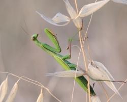 Modlivky zelené patrili počas nádherných potuliek po Chorvátsku k častejším a obľúbeným objektom mojich fotografií.