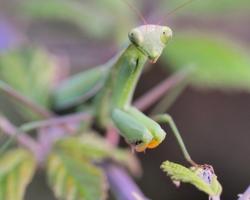 Modlivka zelená čaká na svoju korisť medzi pichliačmi ostružín.