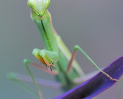 I am interested in interesting color combination praying mantis and purple plants.
