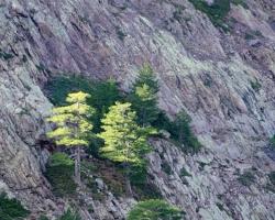 Tam kde sa u nás do výšok hôr pritískajú smreky a smrekovce sa na Korzike držia majestátne borovice. Udatne odolávajú obklopené ružovými skalami horským vetrom a snehom.