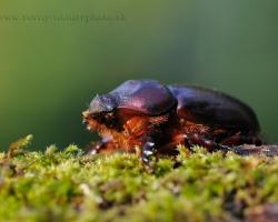 Hm.. veľa slovenských mien biológovia v posledných rokoch poprerábali. Skoro nič už v prírode nemáme s druhovým menom obyčajný, ale zdá sa nosorožtek odoláva, aj keď tu by azda pristal aj názov neobyčajný. Veď koľkože ľudí na Slovensku vôbec videlo takéhoto chrobáka naživo?
