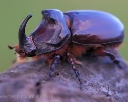Úžasný je tvar tohto nevšedného chrobáka.