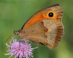 Meadow brown is one of our most common butterfly of our meadows. What beauty lies in its simplicity, pastel colors.