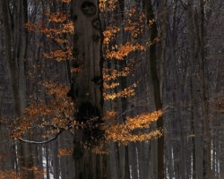 The magic sun make fire on the beech forest also in the winter.