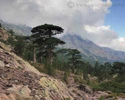Ako staré baobaby či obrovské sviece čnely hrubé borovice v údolí pod Monte Cinto - najvyššou horou Korziky.