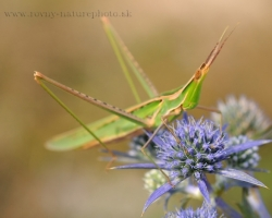 In the Slovkaia no to often, but south to the Mediterranean, however, more and more frekvent is the bush cricket.