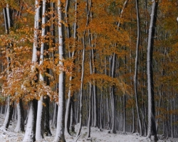 Skorý príchod snehu prekvapil bučinu v plnej kráse