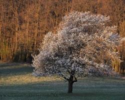 Jednu z prvých bielokarpatských čerešní ohrievajú po chladnej noci teplé slnečné lúče.
