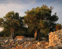Je tisíc či tisícpäťsto rokov veľa či málo? Olivy na ostrove Pag vraj majú takýto pre živý organizmus úžasný vek. Nie je na nich badať únavu, prinášajú plody a s vetrom i cikádami vyhrávajú svoje omamné piesne do noci.