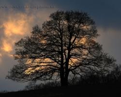 Ubúda svetlo, len popretŕhané mraky dávaju vedieť kde odyšiel spať deň. Starý dub sa pripravujem na jednu z prvých jarných nocí.