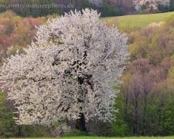 Čerešňe svojou nádhernou jarnou vôňou opájajú všetko vôkol