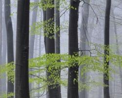 Prvý teplý dážď a hmla napájajú nové zelené pľúca bučiny.