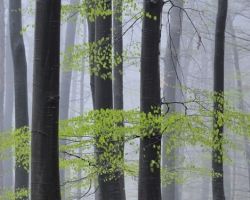 The first warm rain and mist watered the new green lung of beech forest.