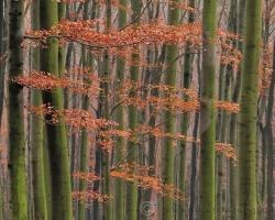 V zákutiach Malých Karpát, kde prenikne málo jesenných lúčov vládne vlhko. Tam si buky na jeseň obliekajú zelené vodnícke šaty.