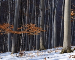 Residues of red leavs vitalize during short winter days Carpatihian winter beech forest