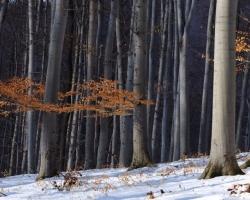 Zbytky červených listov oživujú v krátkych zimných dňoch karpatskú bučinu