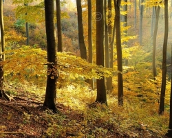 When gold autumn Dust sit on the Carpathian beech forests, there is melted all heat of the summer. Fallen leaves on the hillside whisper on the air of heated wooded hillsides. Drives us to lie down under the yellow beech tops and dream color dreams.