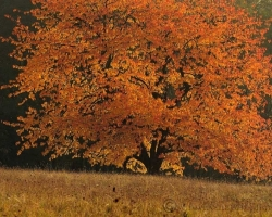 How-winning golden ducats shining cherry tree in the autumn breeze.