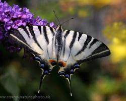 Kto by nepoznal vidlochvosta - tohto krásneho a rýchleho motýľa. Sem tam sa zjaví nejaký jedinec aj v našej záhrade. Fotka zachytáva jedno z takýchto príjemných stretnutí.