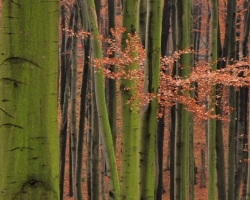 As painted by naughty painter stick green pillars of beech from fallen red leaves to the somewhere up the sky.