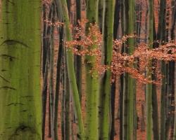 Ako pomaľované nezbedným maliarom čnejú zelené stĺpy bukov od opadaného červeného lístia až kdesi k oblakom.
