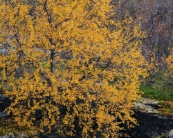 Decoration of the canyon in Abisko National Park were birch in gold look.