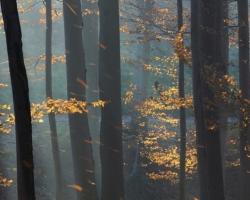 In November wind beech gradually lose their golden dress