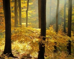 In late autumn day in the Carpathian beech forest met the yellow beech leaves with warm sunshine as in a fairy tale about a golden gem moments. You just have to pause and breathe deeply observe and listen to this amazing show.